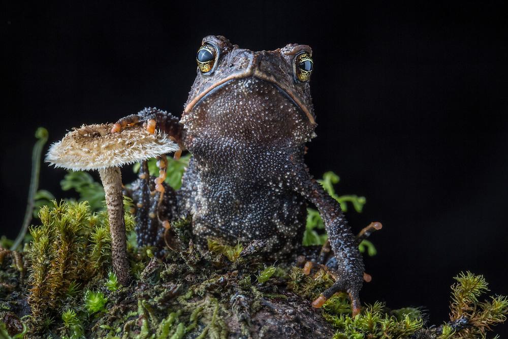 Cuchumatan Golden Toad, Incilius aurarius, from the Cuchumatanes mountains of Guatemala
