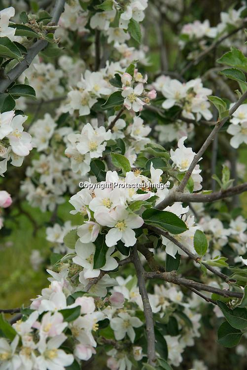 France Jumeauville. la ferme du logis .  apple trees in flowers