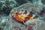 Blacktip grouper (Epinephelus fasciatus)