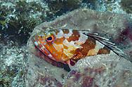 Blacktip grouper-Mérou oriflamme (Epinephelus fasciatus), indian ocean, South Africa.