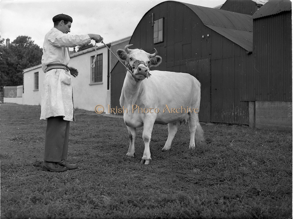 19/09/1952<br /> 09/19/1952<br /> 19 September 1952<br /> Show: Pedigree Dairy Cattle Breeders Council of Ireland Autumn Show and Sale at 30 Prussia Street, Dublin. Friarstown Champion.