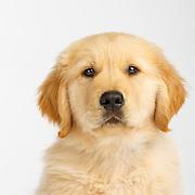 Judi  - Golden Retriever Puppies
