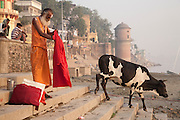 A cow passes a sadhu as it descends the bathing steps towards the silted riverbank of the Ganges at Varanasi, Uttar Pradesh, India