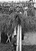 Täckating (läggning av agtak) i Hamra på Gotland