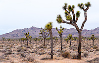 United States, California, Joshua Tree National Park. Joshua trees.