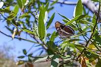 Adelpha californica (California Sister) ♂ at Grizzly Flat, Los Angeles Co, CA, USA, on California bay 19-Aug-17