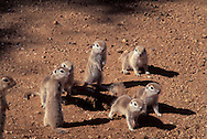 Round-tailed Ground Squirrel babies exploring outside; Sonoran Desert, Arizona