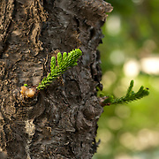 Norfolk Island Pine, Araucraia Heterophylla, Tainan City, Taiwan