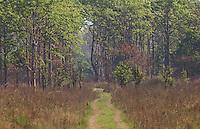 Sal forest in Bardia National Park, Terai Region, Nepal