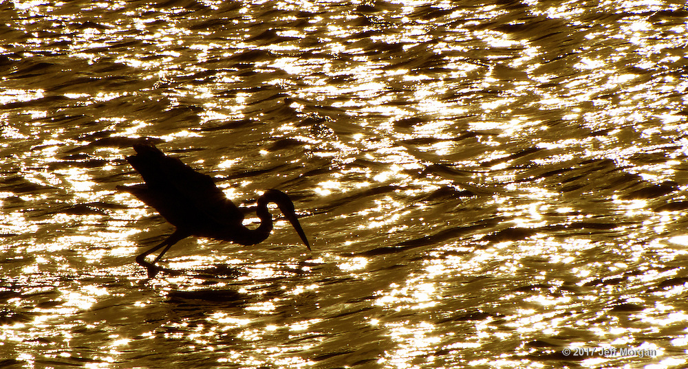 An American Egret fishing for dinner in silhouette at sunset on Captiva Island.