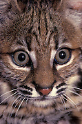 A six-week old bobcat kitten portrait (Felis rufus). Temporarily captive in a rehab facility, near Eugene Oregon.