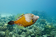 Whitespotted Filefish Orange Phase (Cantherhines macrocerus)<br /> BONAIRE, Netherlands Antilles, Caribbean<br /> HABITAT & DISTRIBUTION: Reef tops usually in pairs.<br /> Florida, Bahamas, Caribbean, Gulf of Mexico, Bermuda & south to Brazil.