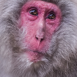 Japan - Snow Monkeys