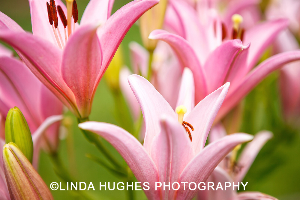 Pink Easter Lilies