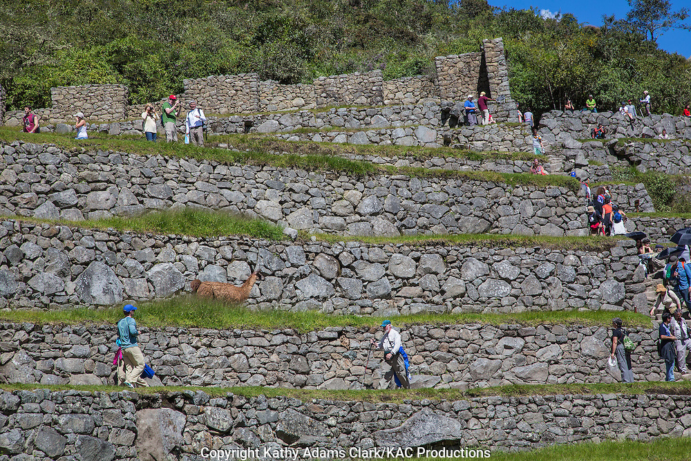 Terraces with llama and tourists, Machu Picchu, Lost City of the Incas, in the Andes Mountains, of Peru.