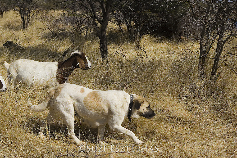 Anatolian Shepherds with Goats<br /> (Cheetah conservationists currently use anatolian shepherds as a cheetah deterrant for livestock protection)<br /> Cheetah Conservation Fund, Namibia