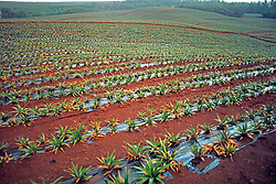 Pineapple Field Agriculture