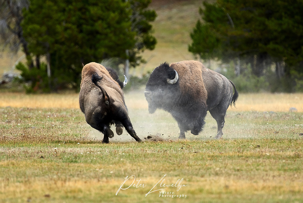 American Bison (Bison bison), Yellowstone National Park, Wyoming, USA   Photo: Peter Llewellyn