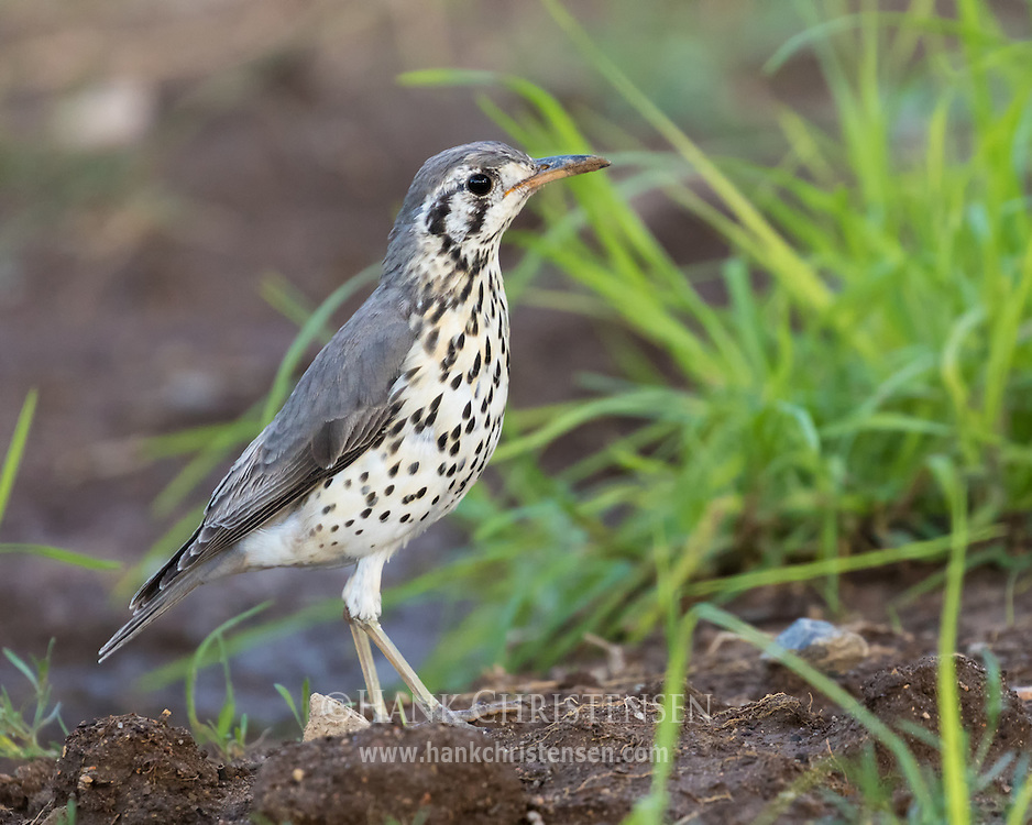 A groundscraper thrush walks along open soil looking for food, Etosha National Park, Namibia.