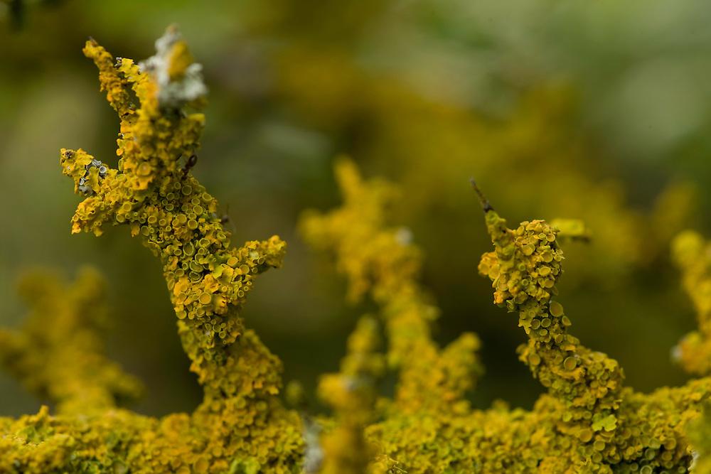 Lichens (unidentified species) on a blacktorn (Prunus spinosa). Near Zadrzani village. Northern part of Livansko Polje. May 2009. Bosnia-Herzegovina.<br /> Elio della Ferrera / Wild Wonders of Europe