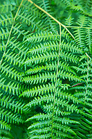 Bracken Fern, Smith River, Oregon.