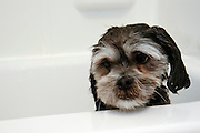 Memories of fun dog play in a muddy yard fade as Buckley, a Lhaso Apso, suffers through another bath at the Miller/Stute home in Madison, Wis., on July 31, 2004.