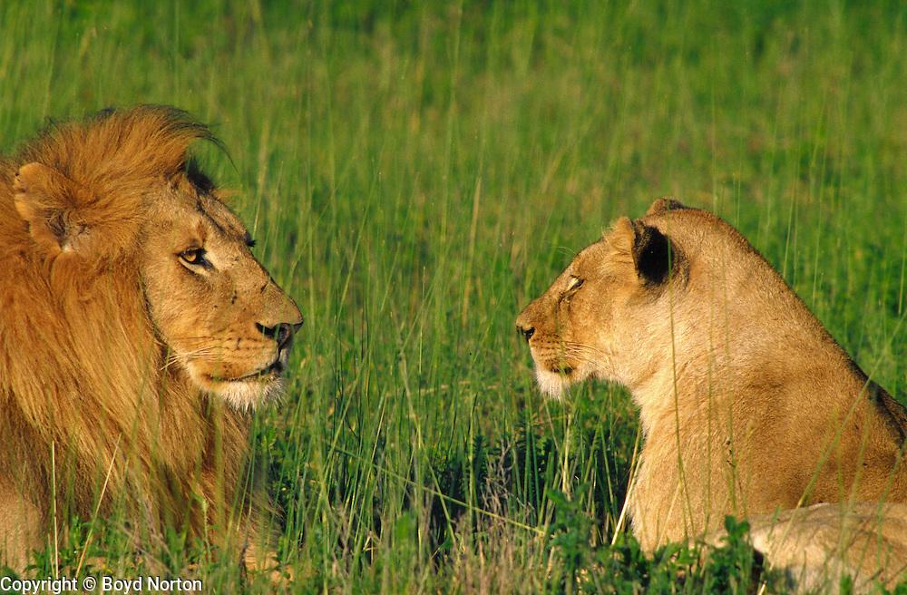 Male and female lion, Serengeti National Park, Tanzania