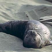 Northern Elephant Seal, (Mirounga angustirostris)  Baby seal resting on beach. California.