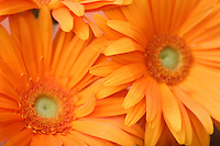 April 30, 2007; Los Angeles, CA - Orange Gerbera flowers..Photo Credit: Darrell Miho