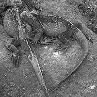 Ecuador, Galapagos Islands National Park, Isabella Island, Marine Iguanas (Amblyrhynchus cristatus) resting on lava rocks