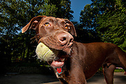 Portrait of a chocolate lab with a tennis ball in his mouth.