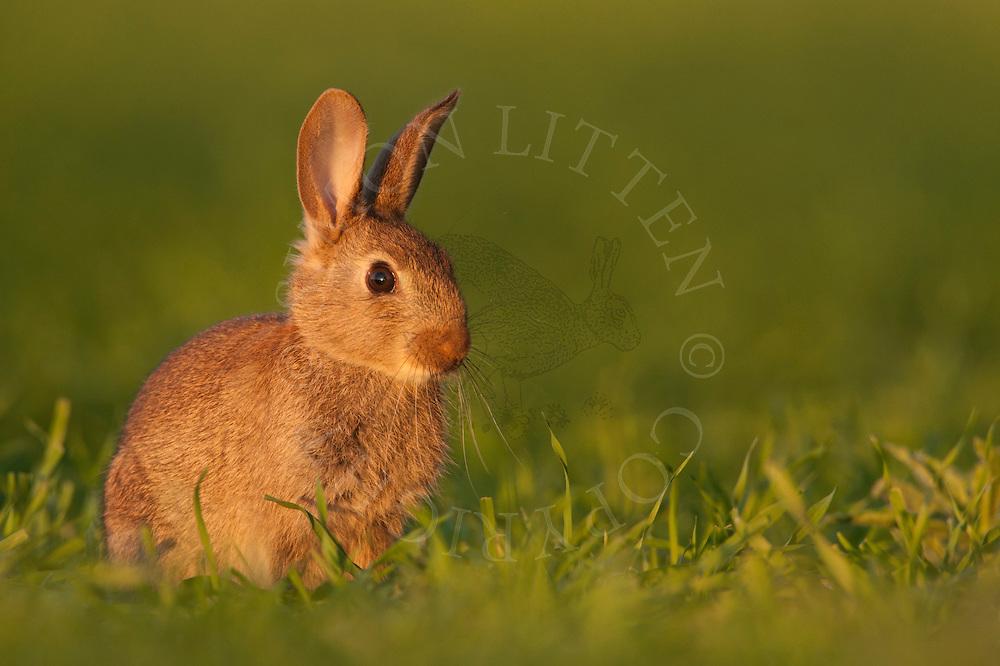 European Rabbit (Oryctolagus cuniculus) adult, sitting on grazing marsh, Norfolk, Uk.