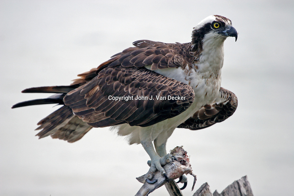 Osprey with fish close-up. Ft. Myers Beach, FL.