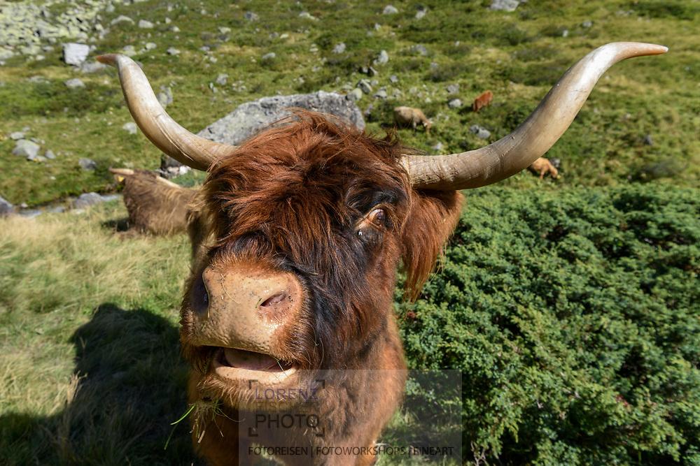 Hochlandrinder im unteren Val Ravais-ch, Berg&uuml;n, Parc Ela, Graub&uuml;nden, Schweiz<br /> <br /> Highland cattle in the lower Val Ravais-ch, Berg&uuml;n, Parc Ela, Grisons, Switzerland