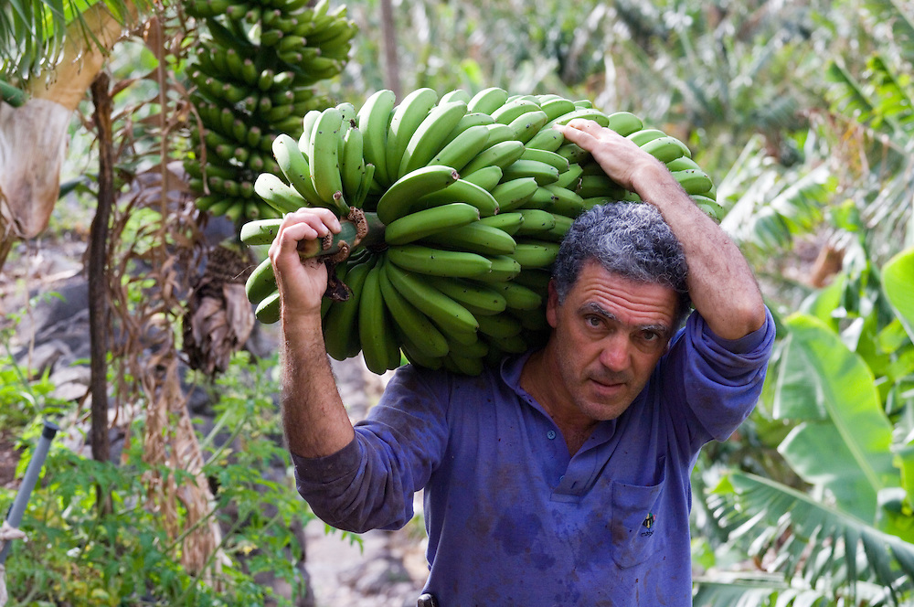 Local man farmer harvesting bananas in banana plantation at Hermigua on island of La Gomera, Canary Islands.