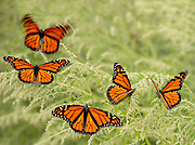 5 male monarchs rest before continuing their migration journey. 14 x 11