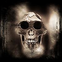 Prehistoric skull of early human ancestry. Australopithecus afarensis.