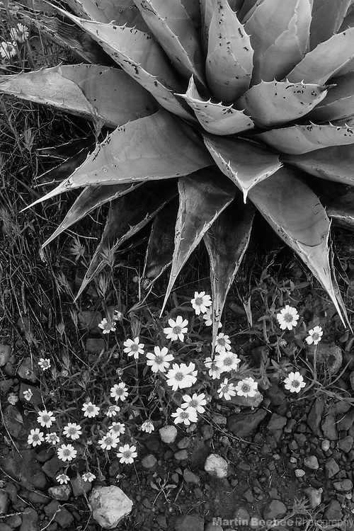 Wildflowers and agave (Agave parryi), Coconino National Forest, Arizona