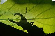 This stag beetle (Lucanus cervus) is living on oak trees. Biosphere Reserve &lsquo;Nieders&auml;chsische Elbtalaue&rsquo; (Lower Saxonian Elbe Valley), Germany | Wo der Hirschk&auml;fer (Lucanus cervus) lebt, ist der Wald noch in Ordnung: 1000 Jahre muss die Natur sich selbst &uuml;berlassen bleiben, um diesem K&auml;fer eine Heimat zu bieten. Seine Larven entwickeln sich im alten, modrigen Totholz von Eichen in den letzten &sbquo;Urw&auml;ldern&rsquo; Deutschlands. An warmen Sommerabenden kann man das Brummen der handtellergro&szlig;en K&auml;fer h&ouml;ren, wenn sie um die Eichen herum fliegen. Bis sie sich irgendwann niederlassen, um auf den Bl&auml;ttern und &Auml;sten nach einer Partnerin zu suchen &hellip;<br /> Elbtalauen, Deutschland