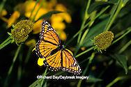 """03421-003.18 Viceroy butterfly (Limenitis archippus) on Rudbeckia nitida """"Autumn Sun"""", Marion Co.  IL"""