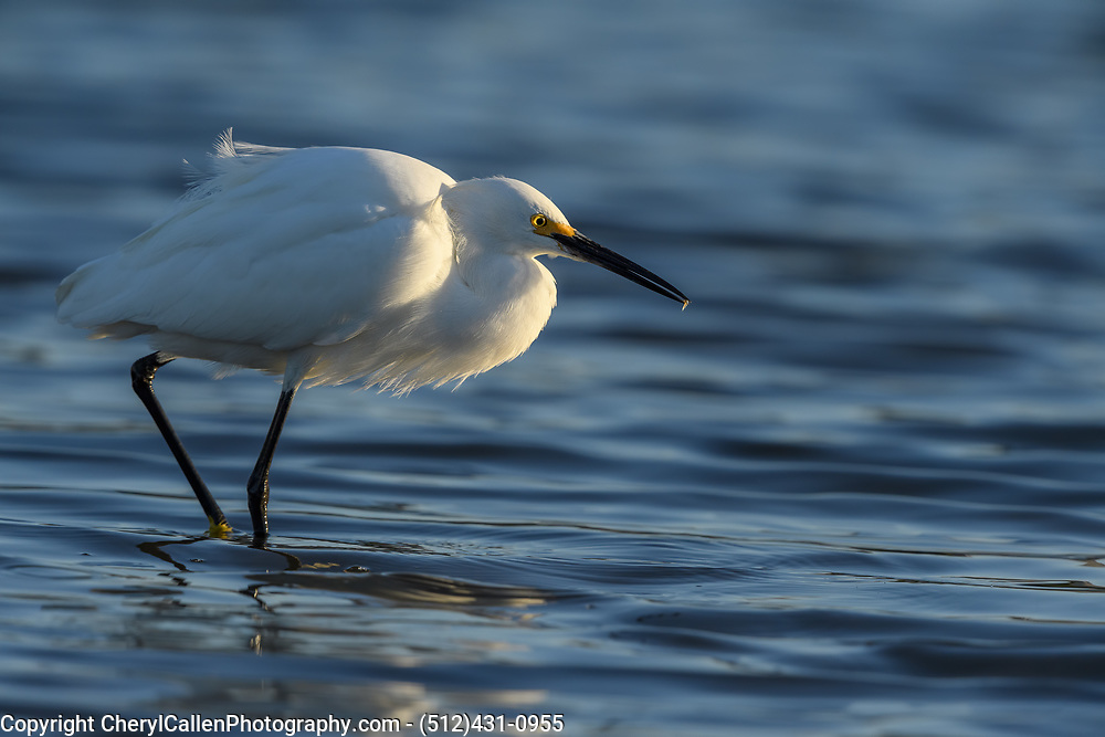 Snowy Egret with small krill