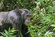 Chimpanzee<br /> Pan troglodytes<br /> Male<br /> Tropical forest, Western Uganda