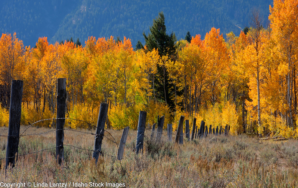 Montana, Southwest, Beaverhead county, Centennial valley. Colorful aspens in fall and a rustic rence contrasted against the Centennial Mountains in autumn.