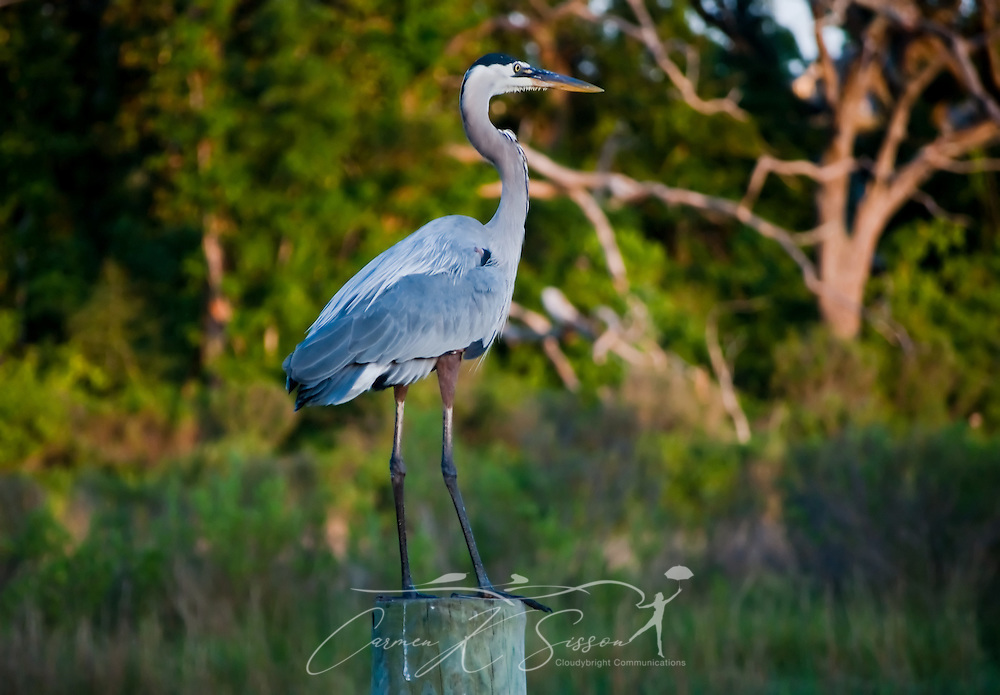 A great blue heron perches on a piling May 8, 2011 at Ocean Springs Harbor in Ocean Springs, Miss. Tourists flock to the area to charter boats, fish, and view local wildlife. (Photo by Carmen K. Sisson/Cloudybright)
