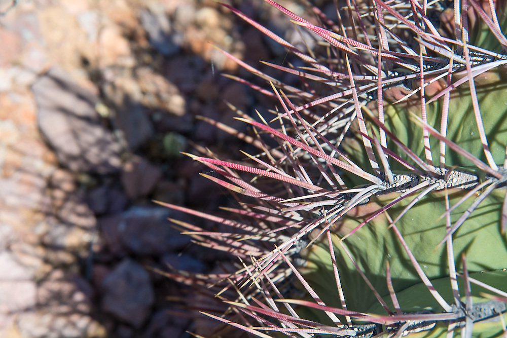 "Close-up look at the spines of a young fishhook barrel cactus, this one found and photographed in the Alamo Canyon, deep in the Ajo Mountains of Southern Pima County, Arizona near the Mexican border. As this plant grows larger, these spines will turn back inwards, giving them a ""fishhook"" like appearance. This rather common large barrel cactus found in the Sonoran and Chihuahuan Deserts of the American Southwest with a range stretching from Arizona through New Mexico to Texas, as well as south of the border into the northern parts of the Mexican states of Sonora and Chihuahua. Bright yellow fruit emerge and develop throughout the year after its bright orange blossoms are pollinated in summer, and by the following spring they will look like this. As with many cacti, it has many regional names such as the Arizona barrel and biznaga-barril de Nuevo México and is found in open rocky ground, shrub-steppe, chaparral and at the base of desert hills and mountains where there is some gathering of water during seasonal rains. Mature plants can reach upwards of 5 feet tall, and live to 50 to 130 years, and as they get larger, they will tend to lean to face south or southwest-ward, which is why come people also call it the compass cactus. Vicious recurved spines (or ""fishhooks"") protect it from predators such as javelinas, and the fleshy yellow fruits are an important food source for birds, mule deer, and javelinas."