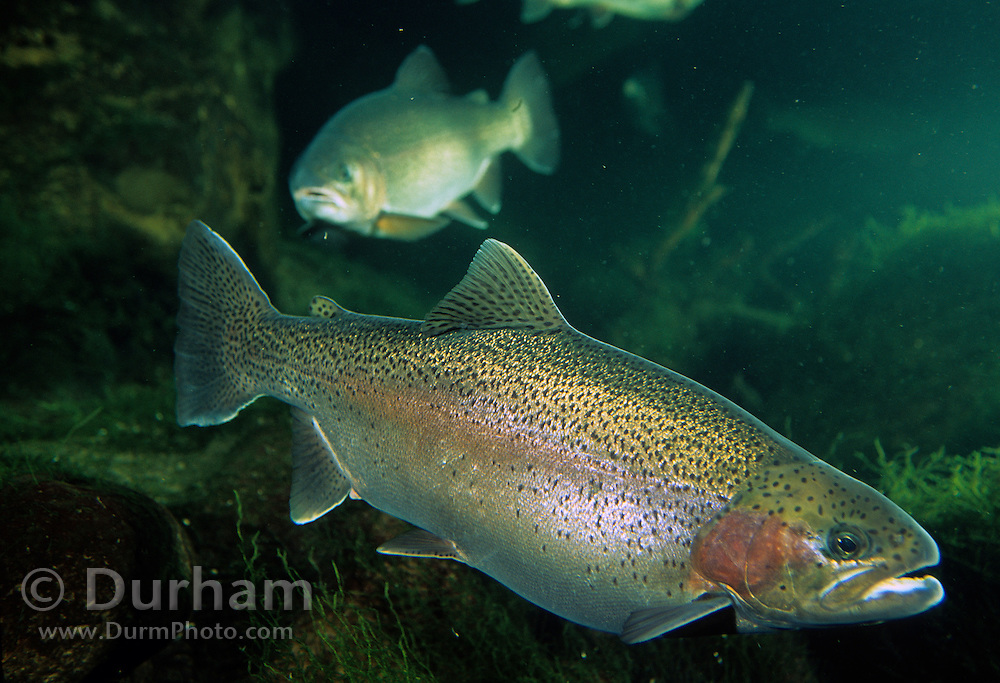 A rainbow trout (Oncorhynchus mykiss) photographed in Western Oergon.