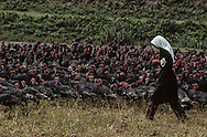 Albania. Turkeys grazing in the center, in Maduras..     Albania    / Elevage de dindons dans le centre. inMaduras.    Albanie