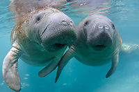 "The male manatee to our right subtly touches the left flipper of an interested female manatee. Even though the large manatee mating herds are active, there is much socialization that goes on between manatees that is curious and gentle. It is refered to as ""cavorting"" by the manatee researchers. This is a peek at an undisturbed, natural behavior while this manatee winters in the freshwater springs. Florida manatee, Trichechus manatus latirostris, a subspecies of the West Indian manatee, endangered. Three Sisters Springs, Crystal River National Wildlife Refuge, Kings Bay, Crystal River, Citrus County, Florida USA. IUCN Red List: Endangered. USFWS implemented downlisting to Threatened 2017: http://www.iucnredlist.org/details/22106/0. Taken under USFWS SUP Permit."