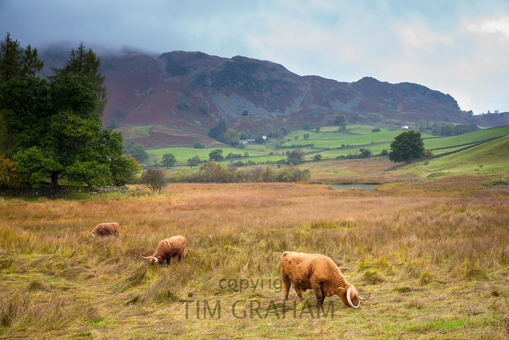 Herd of Highland Cattle cattle grazing in meadow in the Lake District, Cumbria, UK
