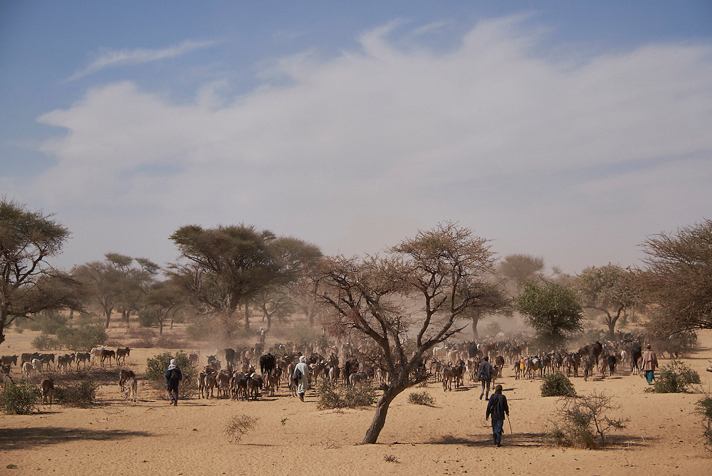 Shepherds heard donkeys outside of Diffa, Niger on February 17, 2016. The cattle will cross over into Nigeria where the men pay Boko Haram for safe passage to continue their journey.